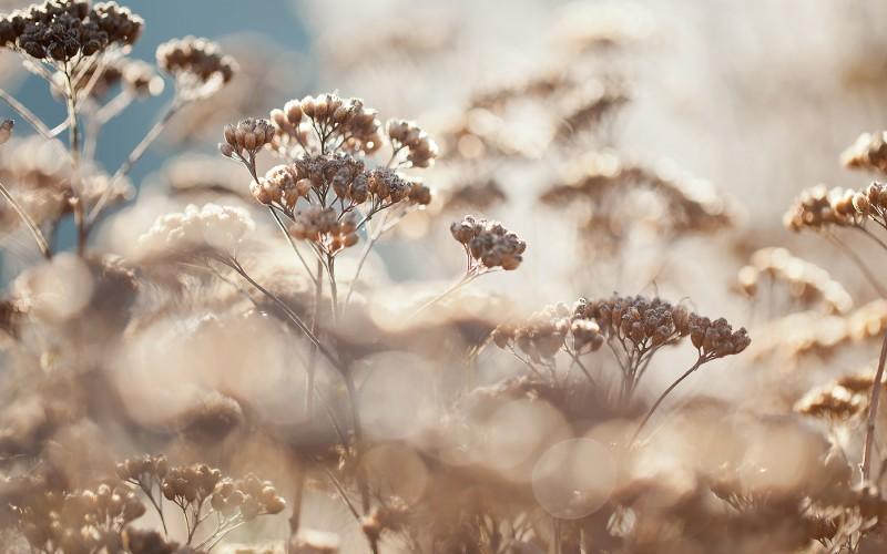 Thousand leaf - Yarrow - Achillea millefolium
