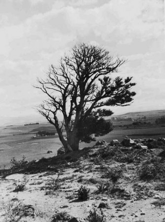 The Totara tree near Brydone Memorial, Totara, Waitaki District Archive 660