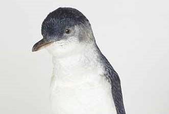 Close up of little blue penguin, NOM 91/0261