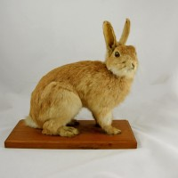 This rabbit was shot at Airedale by Mr McNeilly, while working for the Papakaio Rabbit Board. NOM 06/108