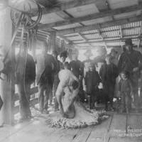 Trial of Wolseley's Shearing Machine at Robert Campbell's, Otekaieke. 1887. Waitaki District Archive 3307P