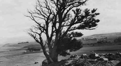 The Totara tree near Brydone Memorial, Totara, Waitaki District Archive 660