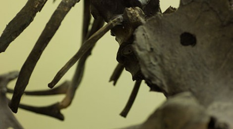 Close up of moa skeleton at the North Otago Museum